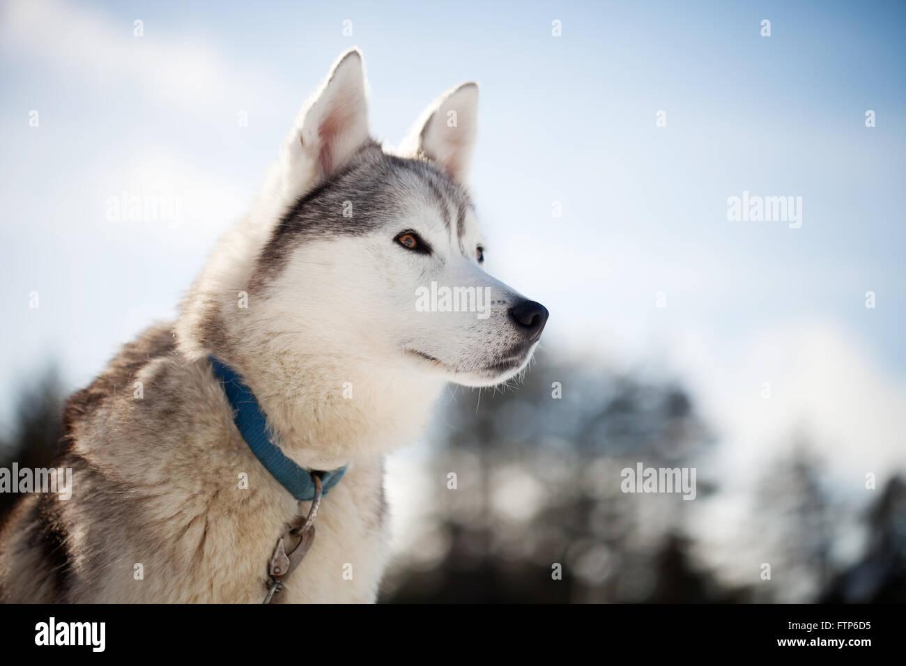 Huskies pasar tiempo al aire libre en Laponia, Finlandia Foto de stock