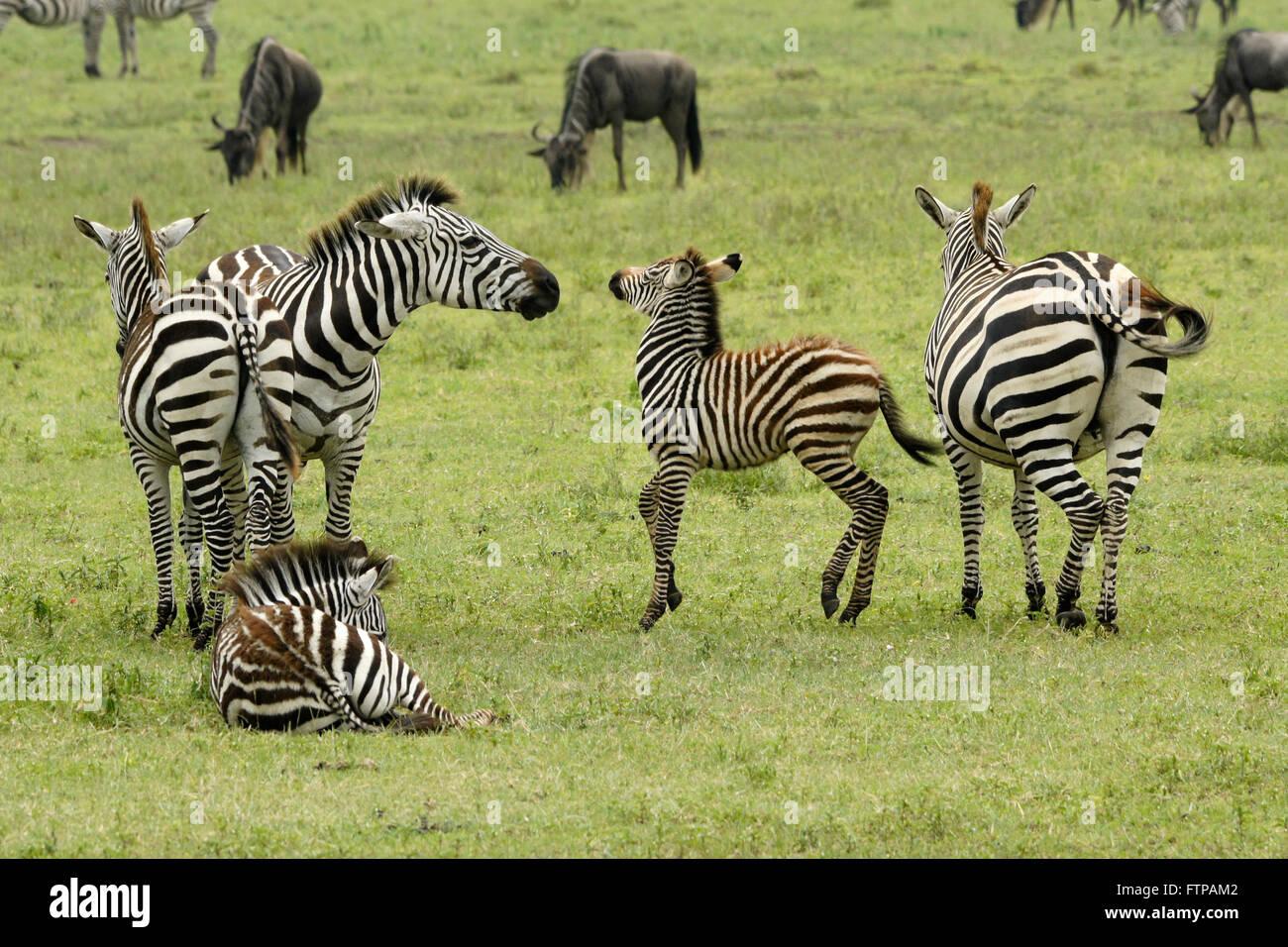 Hembra repujar potro de cebra que no es su propio, el cráter del Ngorongoro, Tanzania Imagen De Stock