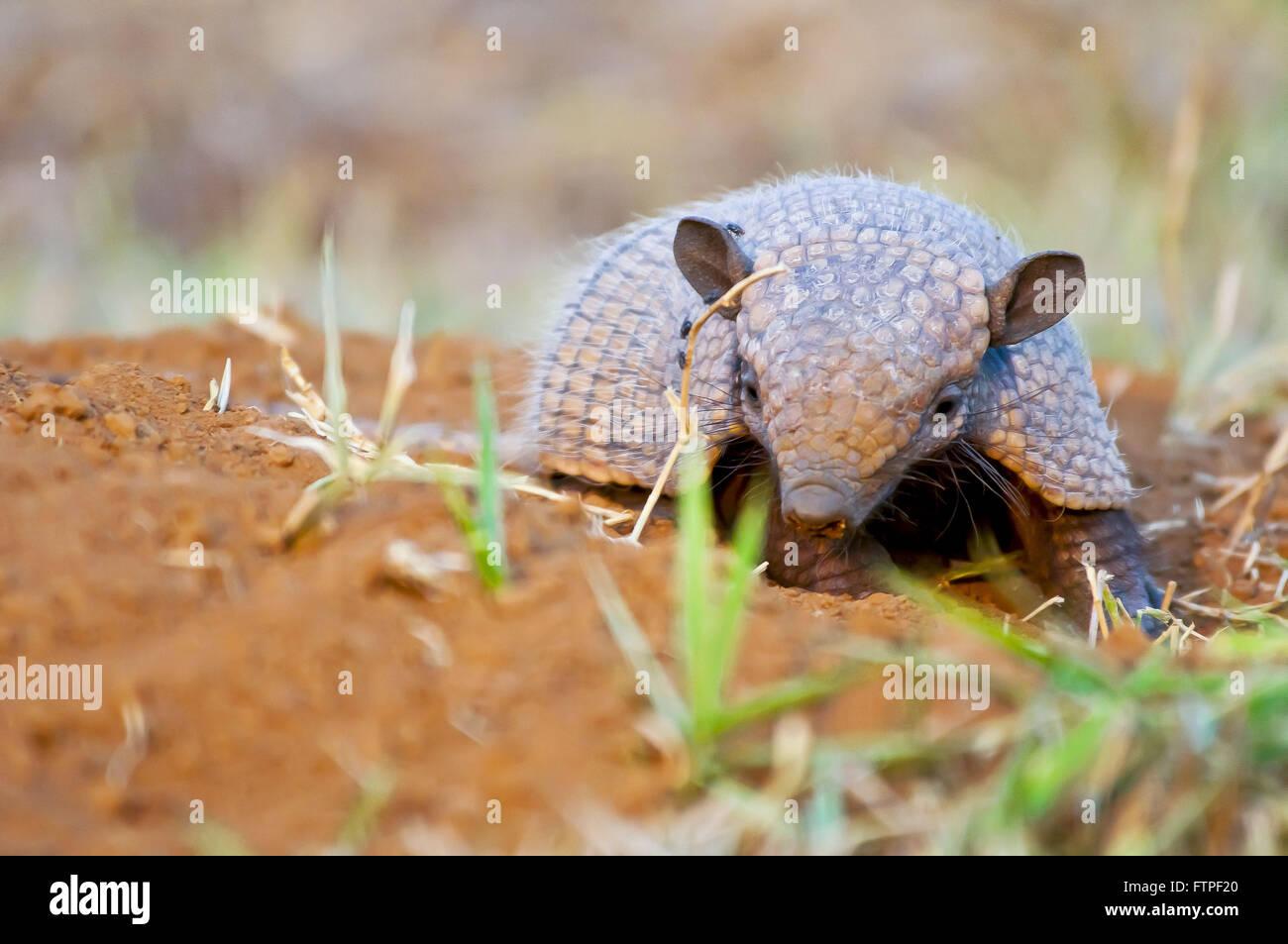 Tatu-peba es también conocido como armadillo husk en Pantanal - Euphractus sexcintus Imagen De Stock