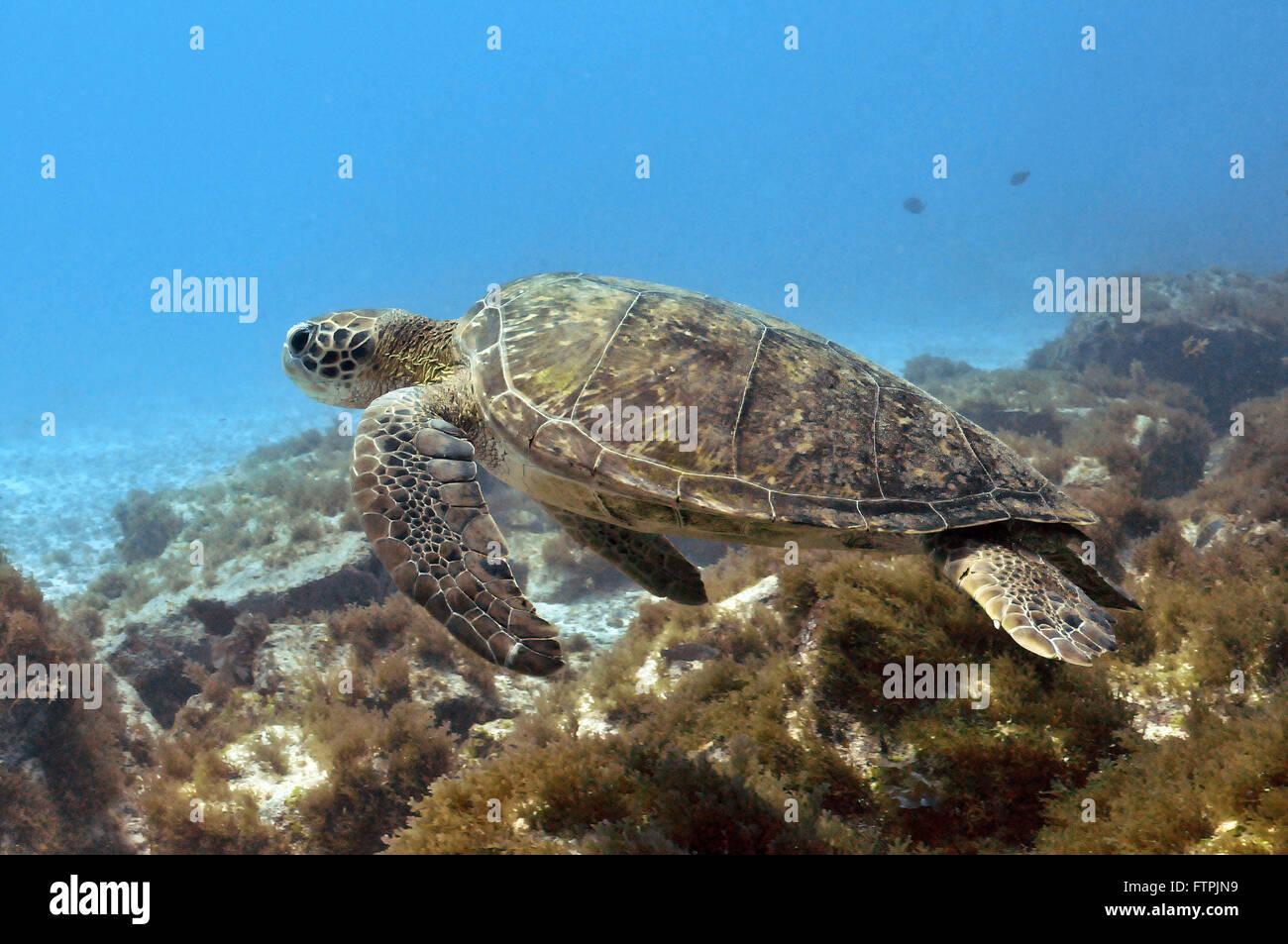 Fotografías submarinas en la costa brasileña - la tortuga verde (Chelonia mydas Imagen De Stock