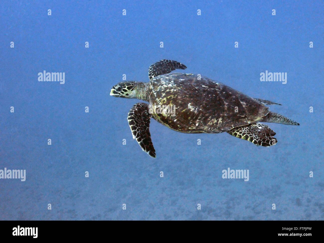 Fotografías submarinas en la costa brasileña - la tortuga carey (Eretmochelys imbricata Imagen De Stock