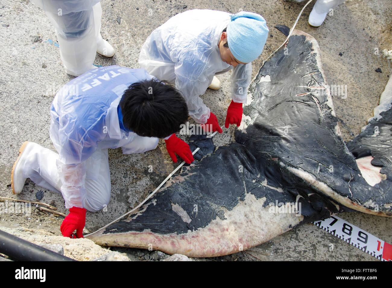 Por disección Okinawa Churashima Research Center de ballena jorobada joven que vararon cerca de Kadena, en Okinawa, Japón. 19/02/2016 Foto de stock
