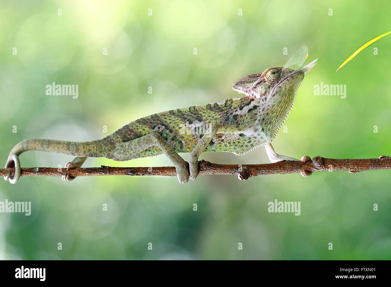 Vista lateral de un camaleón de comer un insecto, Indonesia Foto de stock