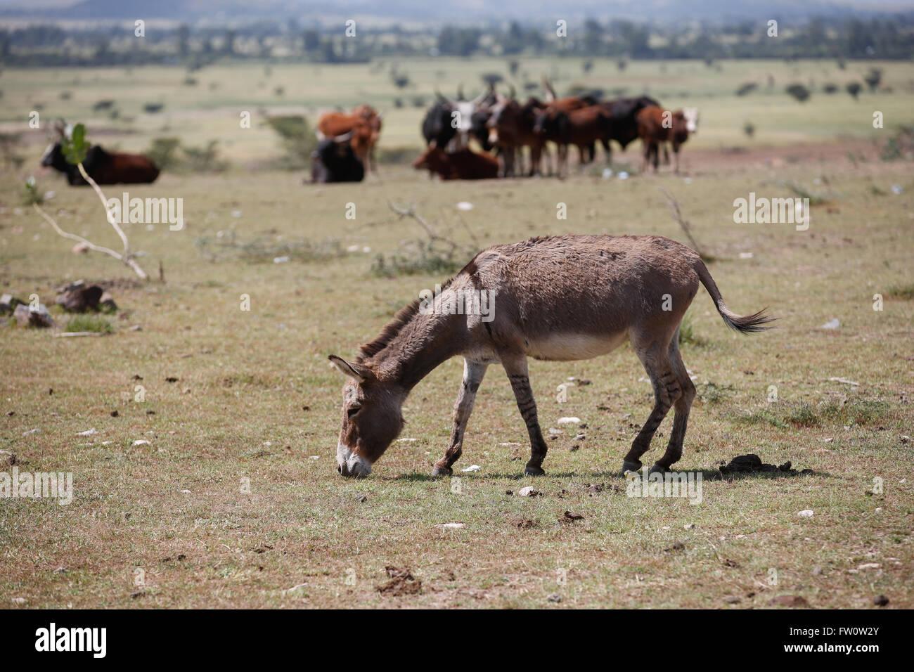 Entre Mojo y Ziway, Etiopía, Octubre 2013: Kumar, de 42 años, pastos propios y su prójimo animal. Imagen De Stock