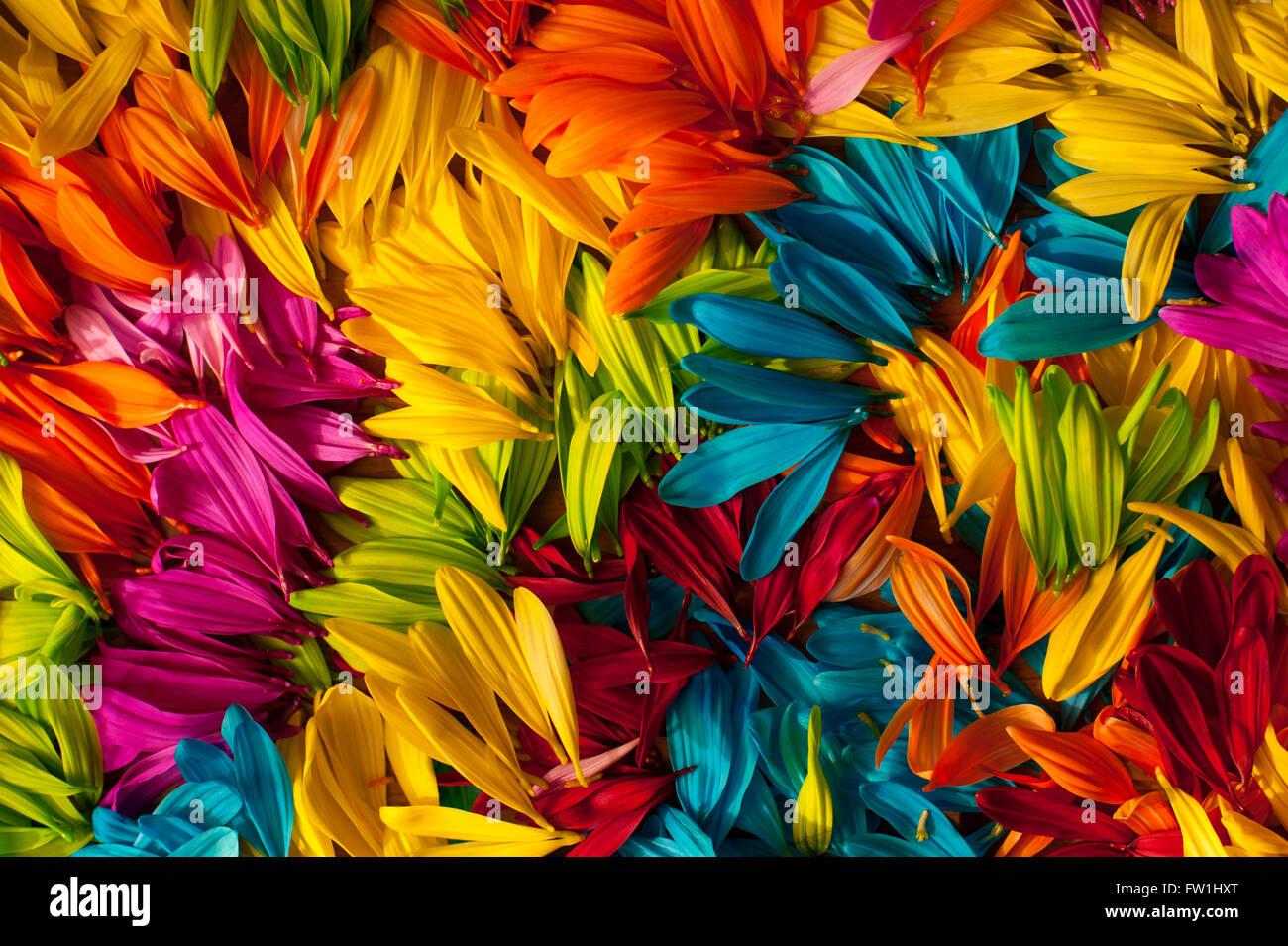 Daisy multicolores pétalos de cerca Imagen De Stock