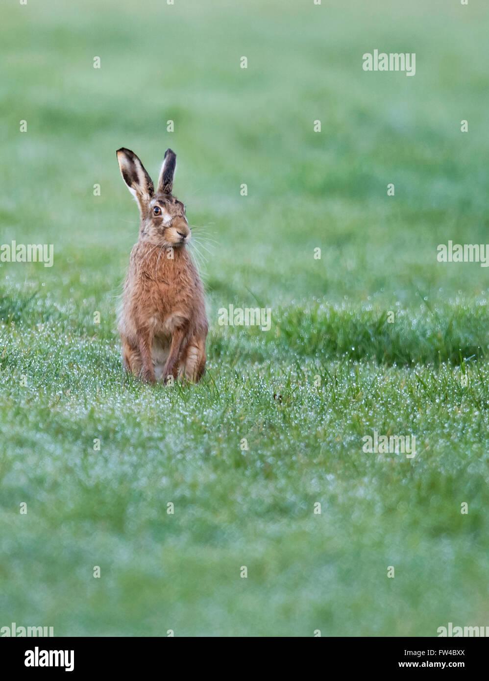 Brown Liebre Lepus europaeus sentarse erguido y alerta , Warwickshire Imagen De Stock