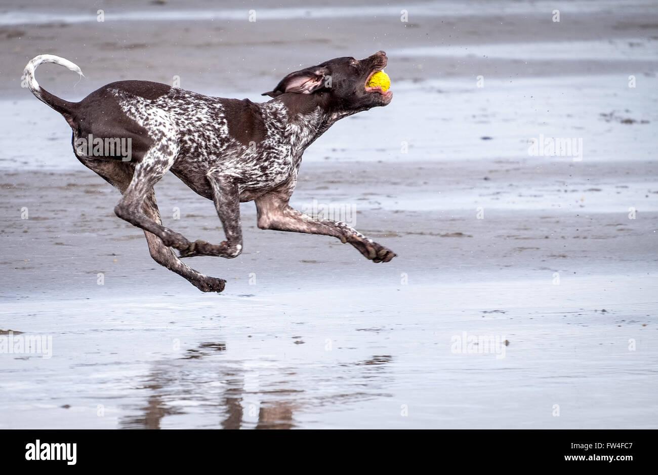 Un perro corriendo jugando en una playa en Westward Ho en Devon, Reino Unido Foto de stock