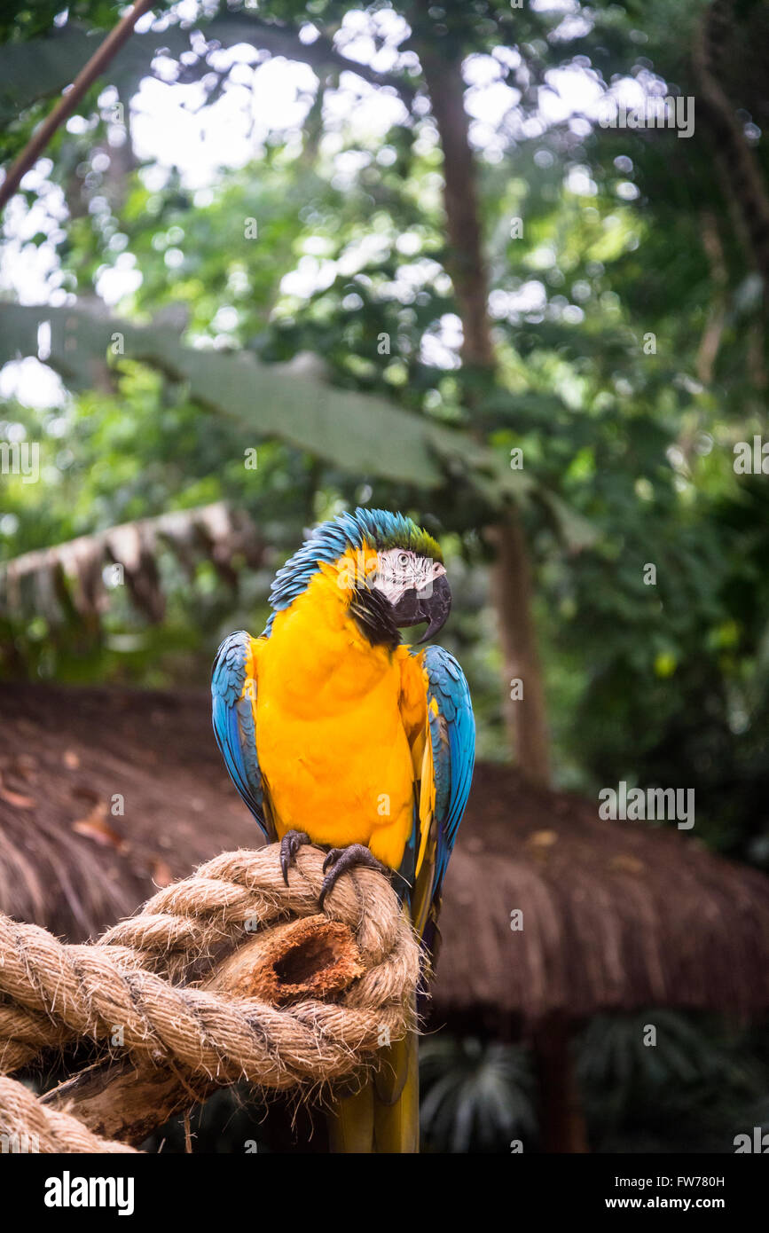 Azul y Amarillo loros guacamayos, Parque de las Aves Foz do Iguaçu, Brasil Imagen De Stock
