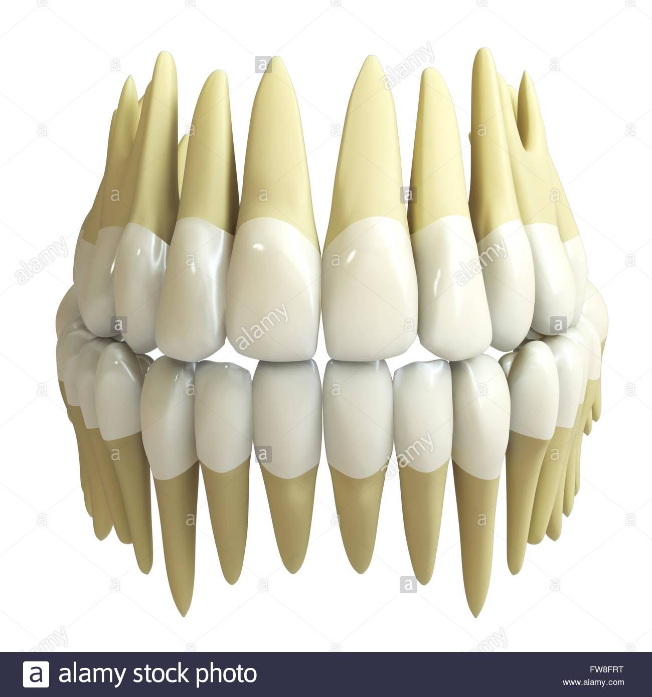3d los dientes humanos aislados sobre fondo blanco Foto & Imagen De ...