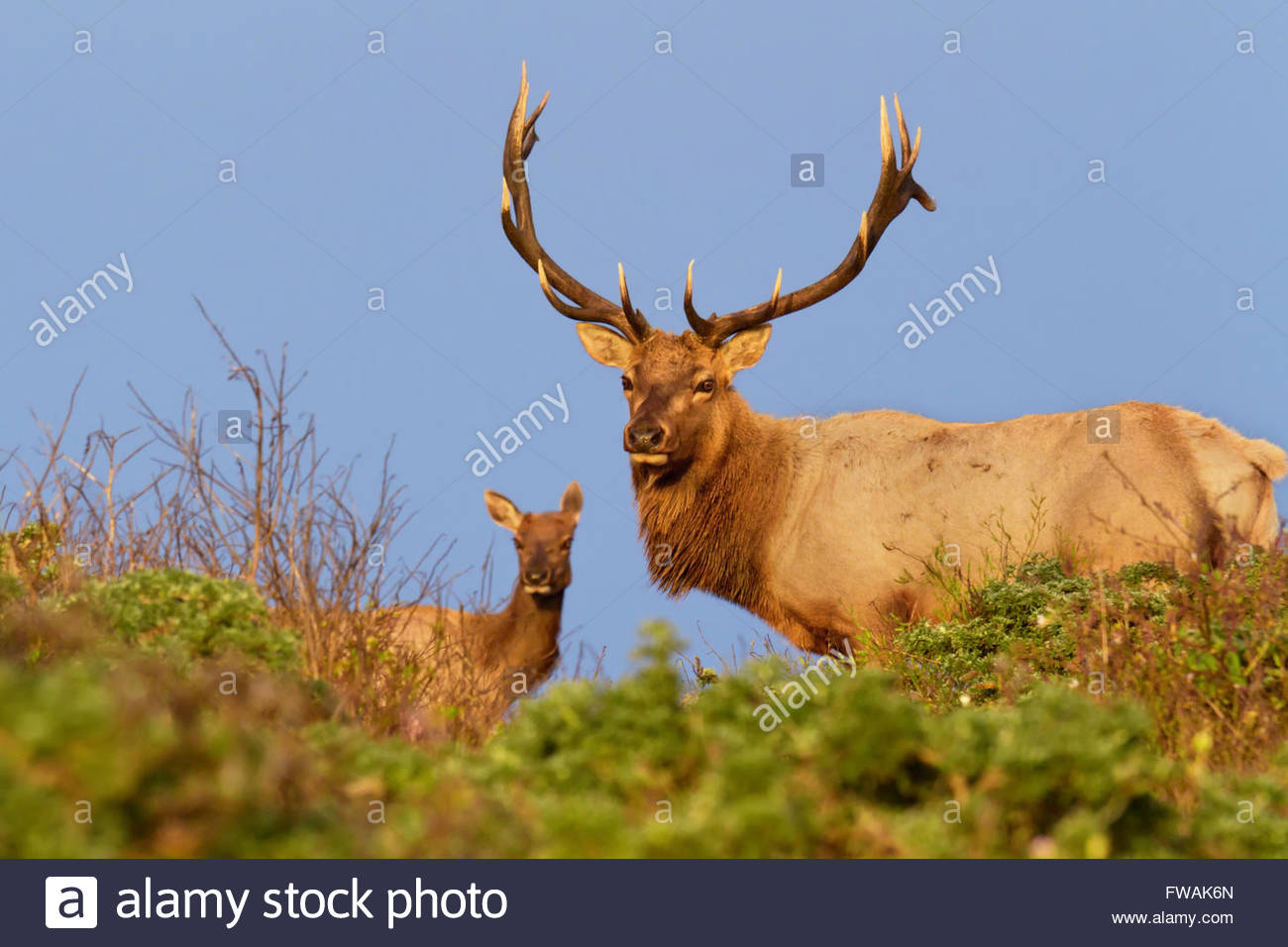 Macho y Hembra Tule Elk en permanente, Sunset Point Reyes National Seashore, CA Imagen De Stock
