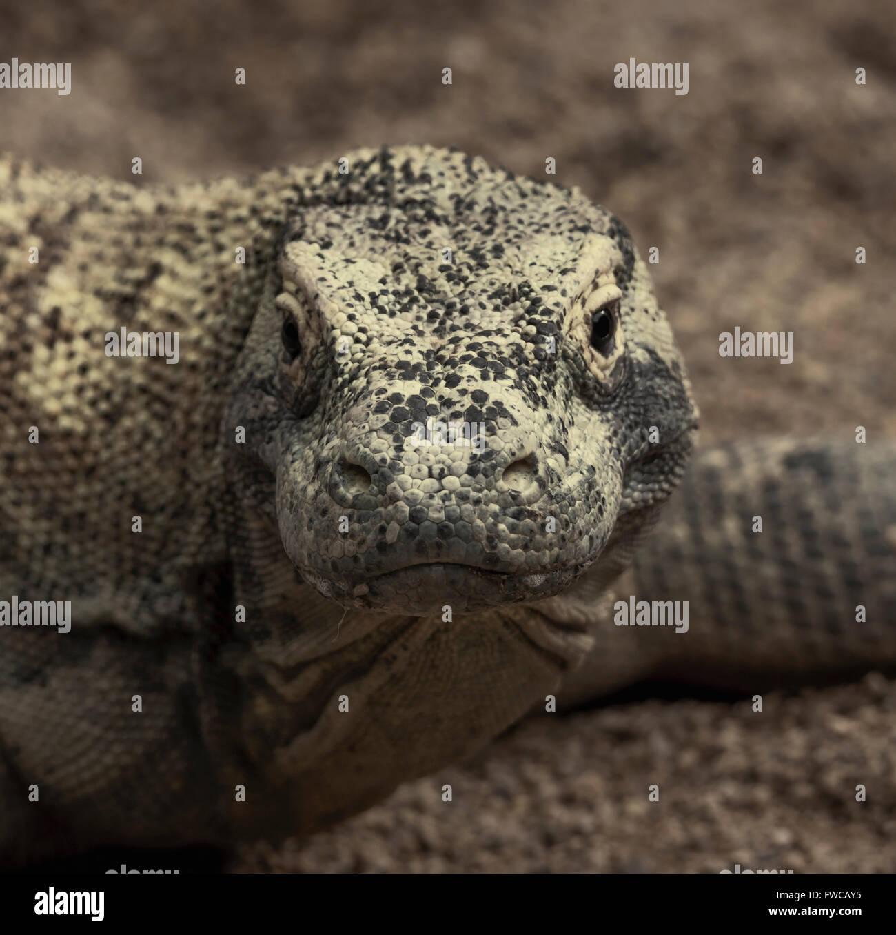 El dragón de Komodo, o monitor (Varanus komodoensis). El lagarto gigante encontrada en varias islas de Indonesia. Imagen De Stock