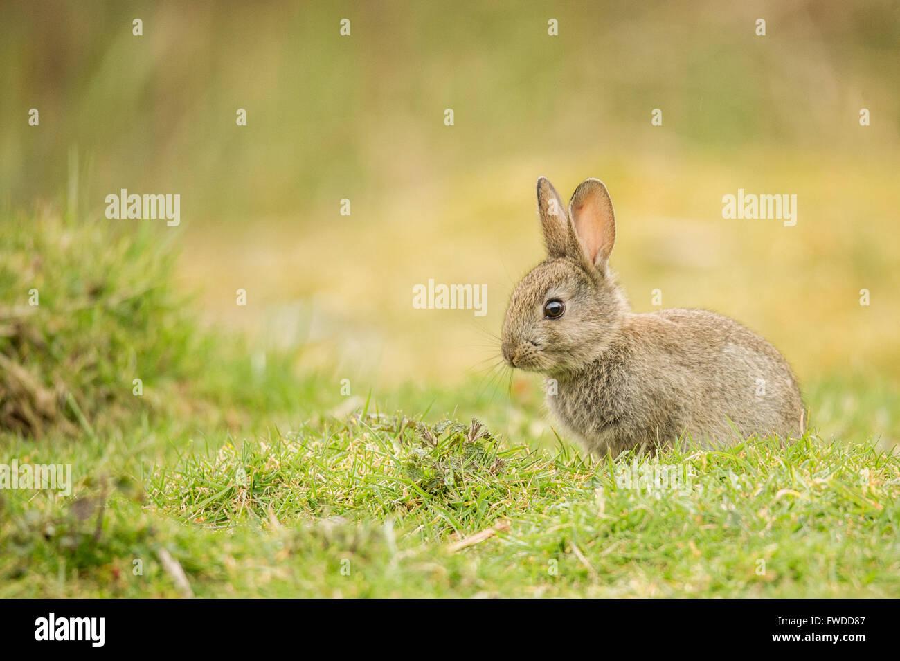 Un adorable conejo bebé fotografiado en el medio silvestre. Foto de stock