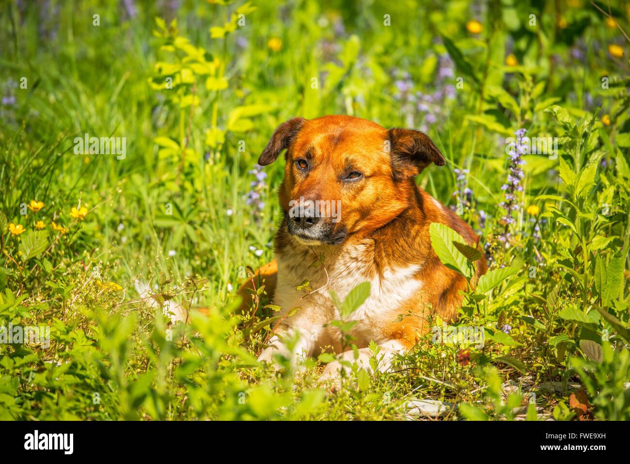 Perro joven tendido en la hierba de prado Imagen De Stock