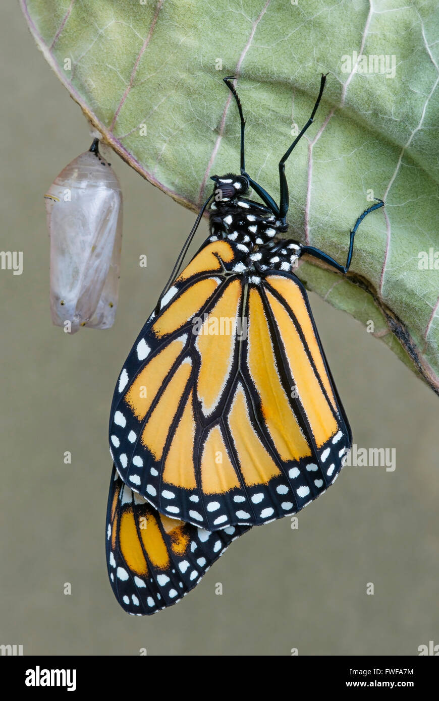 Mariposa monarca Danaus plexippus adulto saliendo de la crisálida y secado de este de los EE.UU. Foto de stock