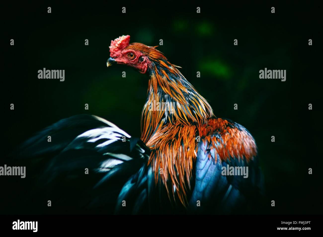 Primer plano de Rooster Imagen De Stock
