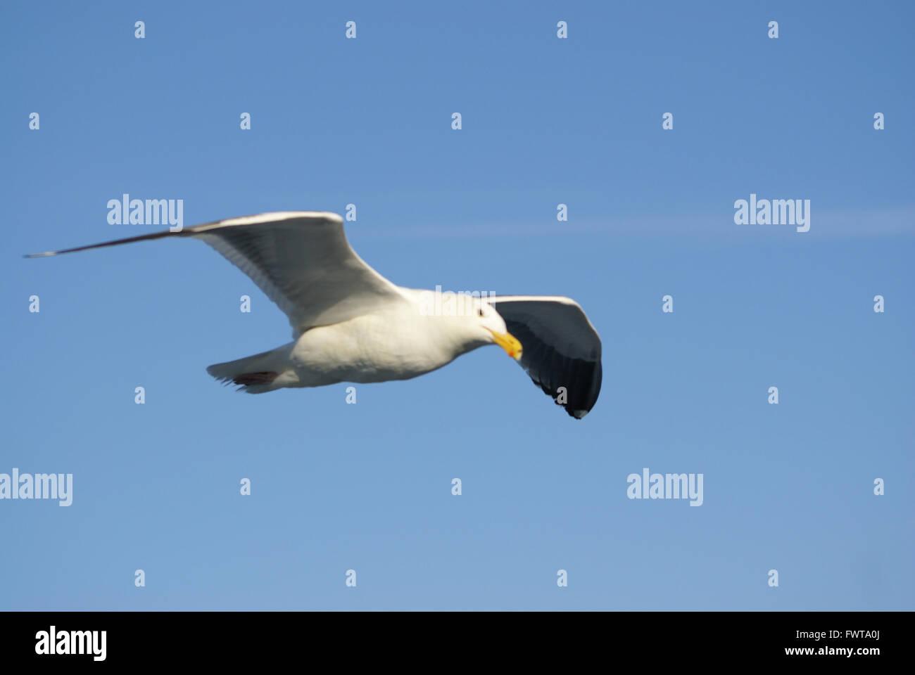 California Ave Gaviota en vuelo sobre la bahía de San Francisco, California, EE.UU., un espectáculo común en el Foto de stock