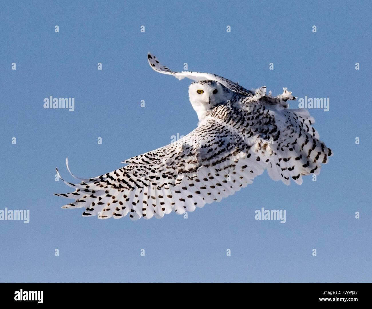 Las lechuzas blancas son increíblemente hermoso en vuelo silencioso y en feroces actividades de caza. Ellos Imagen De Stock