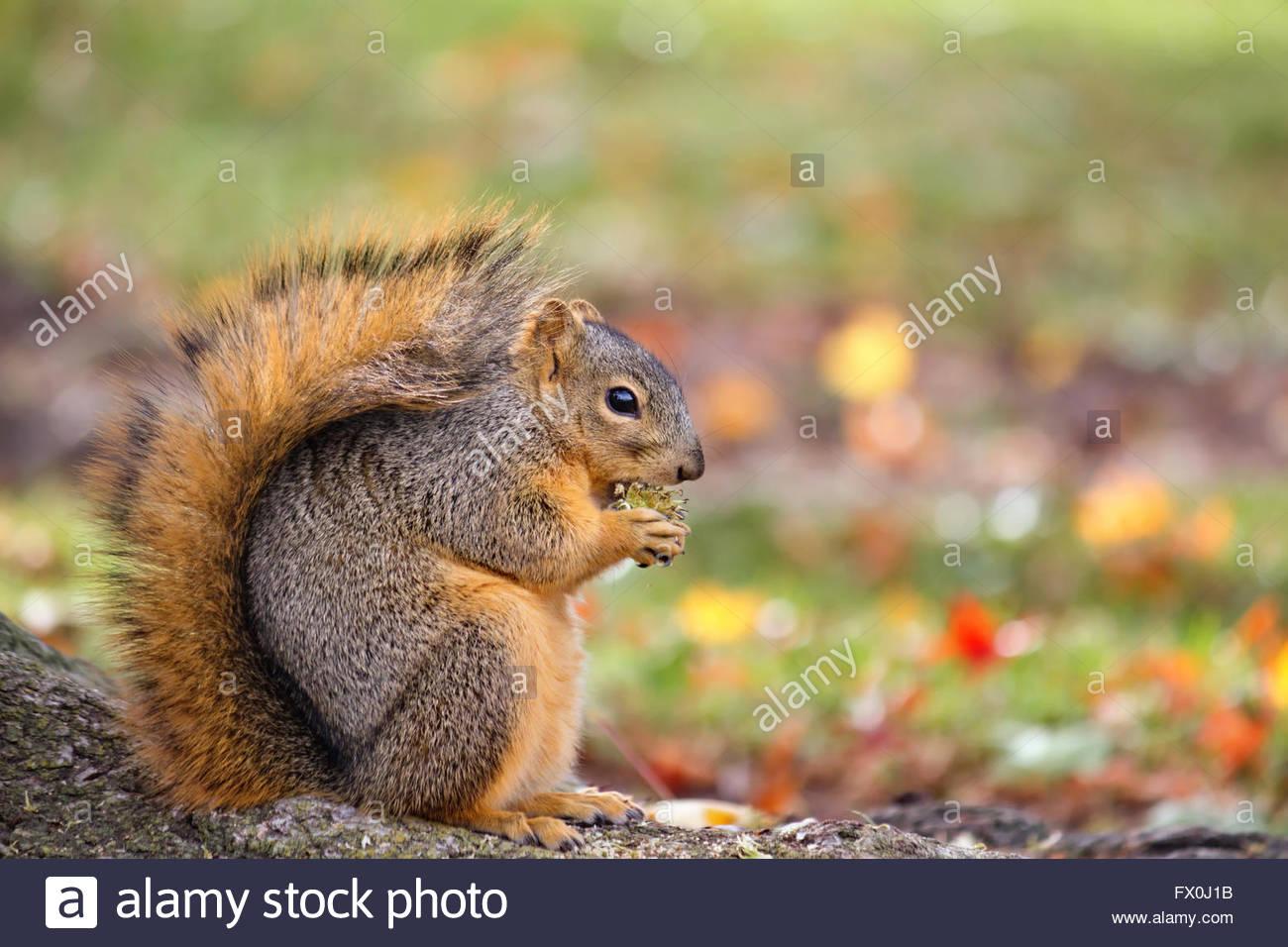 Fox tuerca comer ardilla en otoño Foto de stock