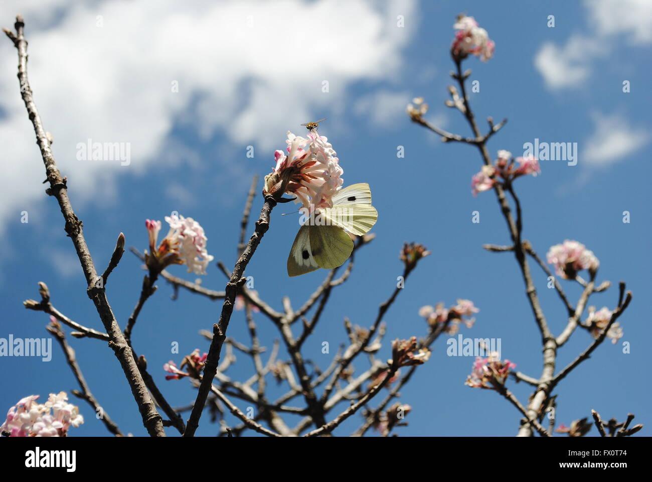 Mariposa col chupar néctar de un montón de flores de Apple. Foto de stock