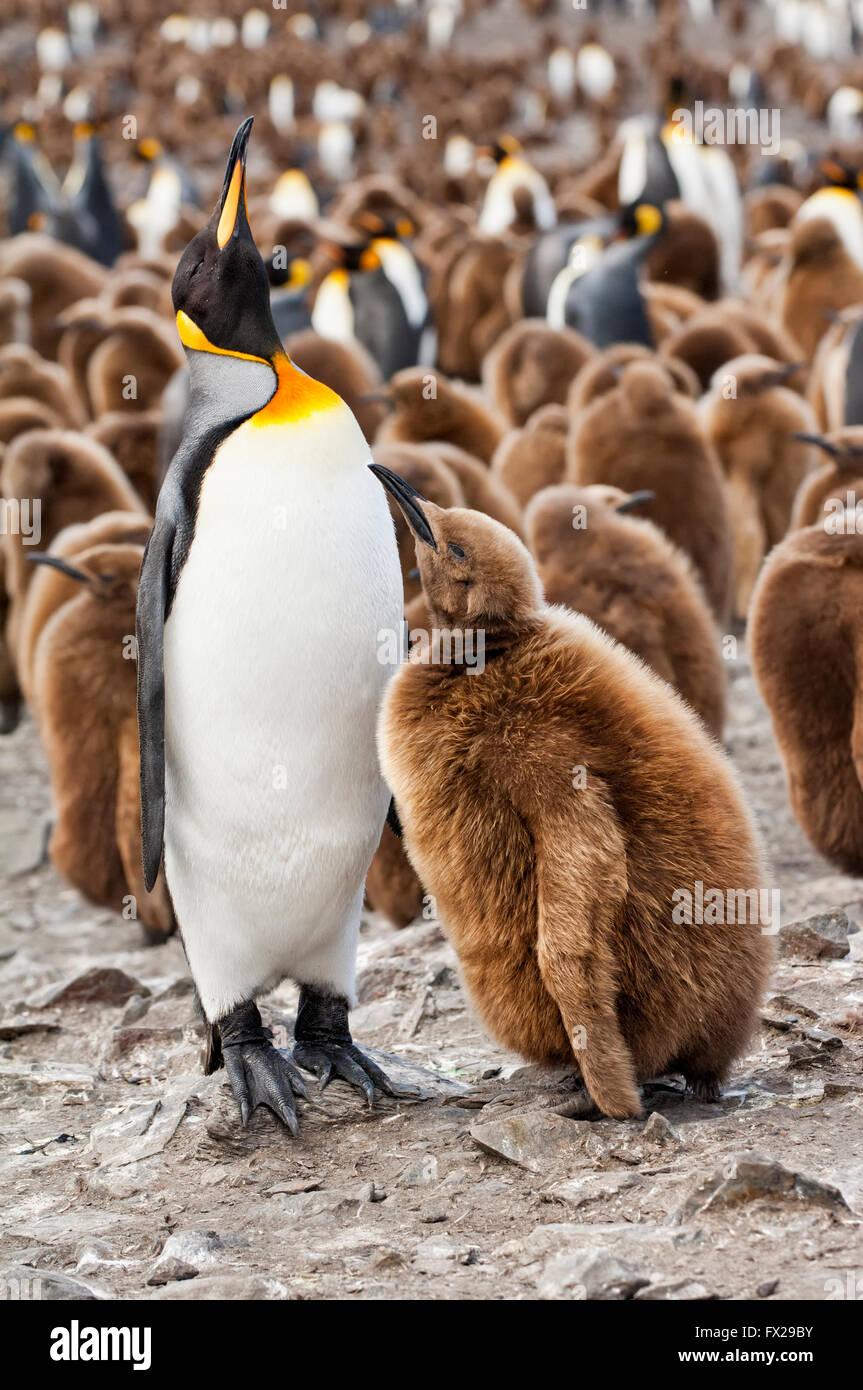 Alimentando un polluelo de pingüino rey (Aptenodytes patagonicus), Saint Andrews Bay, Isla Georgia del Sur Foto de stock
