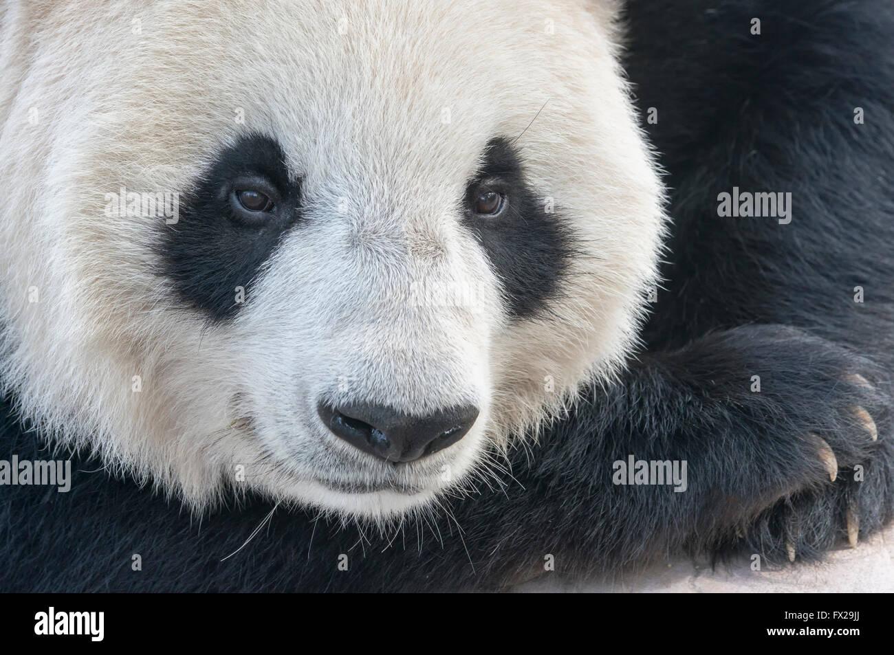 Adulto el panda gigante (Ailuropoda melanoleuca), China y el Centro de Investigación de la conservación Imagen De Stock