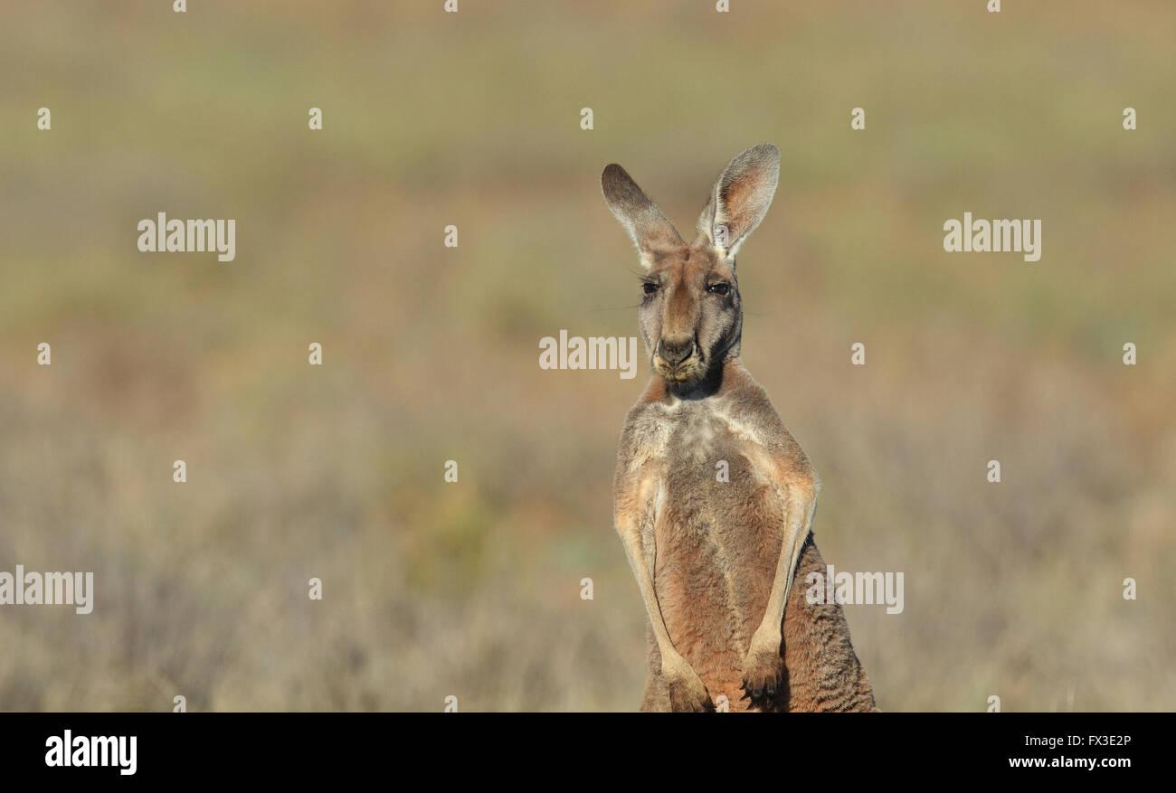 Canguro ROJO HEMBRA, Macropus rufus, en árido outback Australia con fondo fuera de foco y copie el espacio. Imagen De Stock