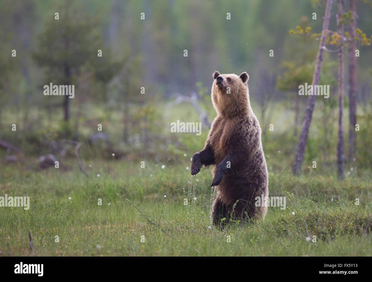 Oso Pardo, Ursus arctos, pararse sobre sus patas traseras o patas traseras y oler en el aire, Kuhmo, Finlandia Imagen De Stock