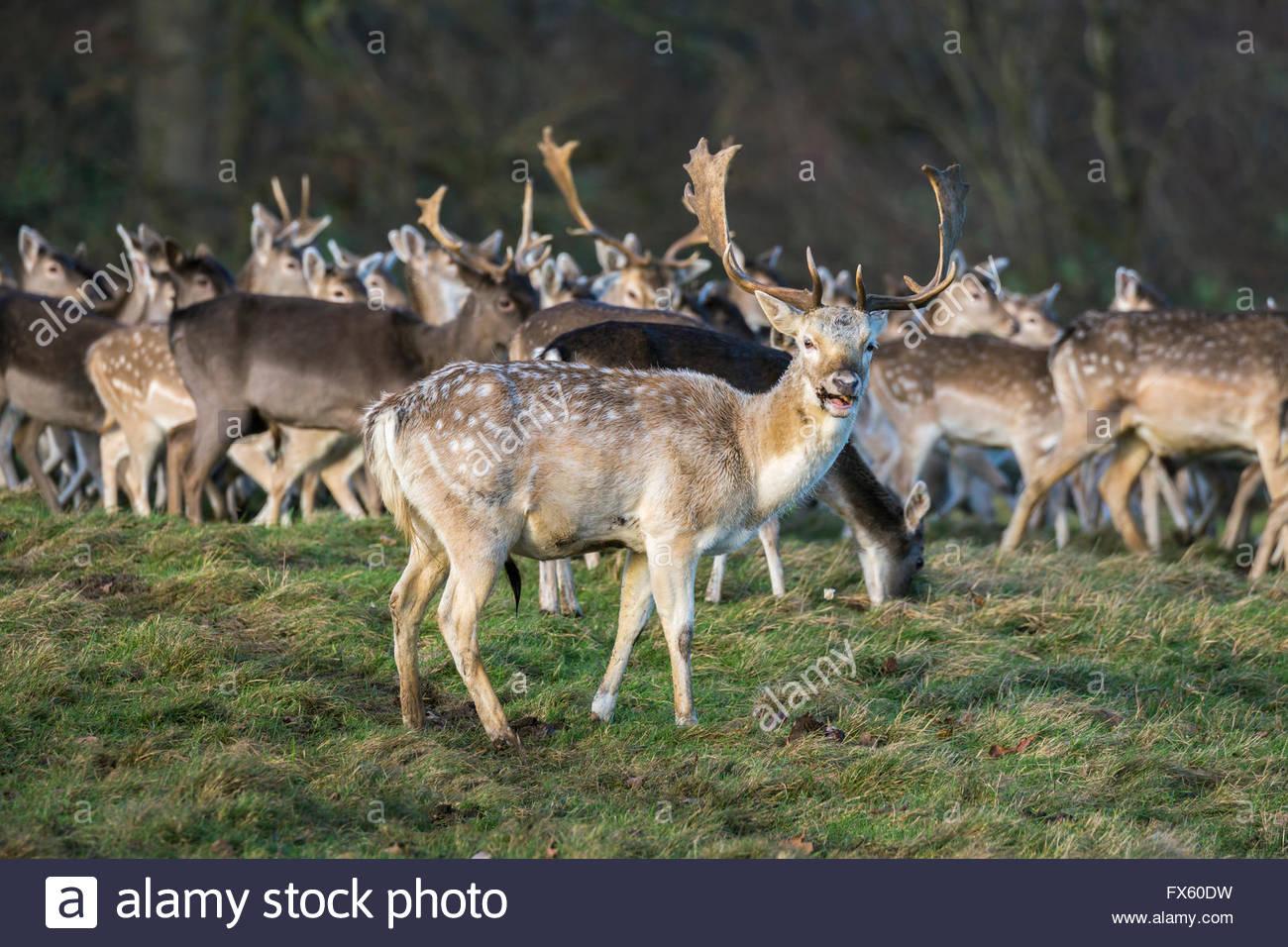 Unión gamo en invierno abrigo (Dama dama), rebaño en Deer Park, Studley Royal, North Yorkshire, Reino Imagen De Stock