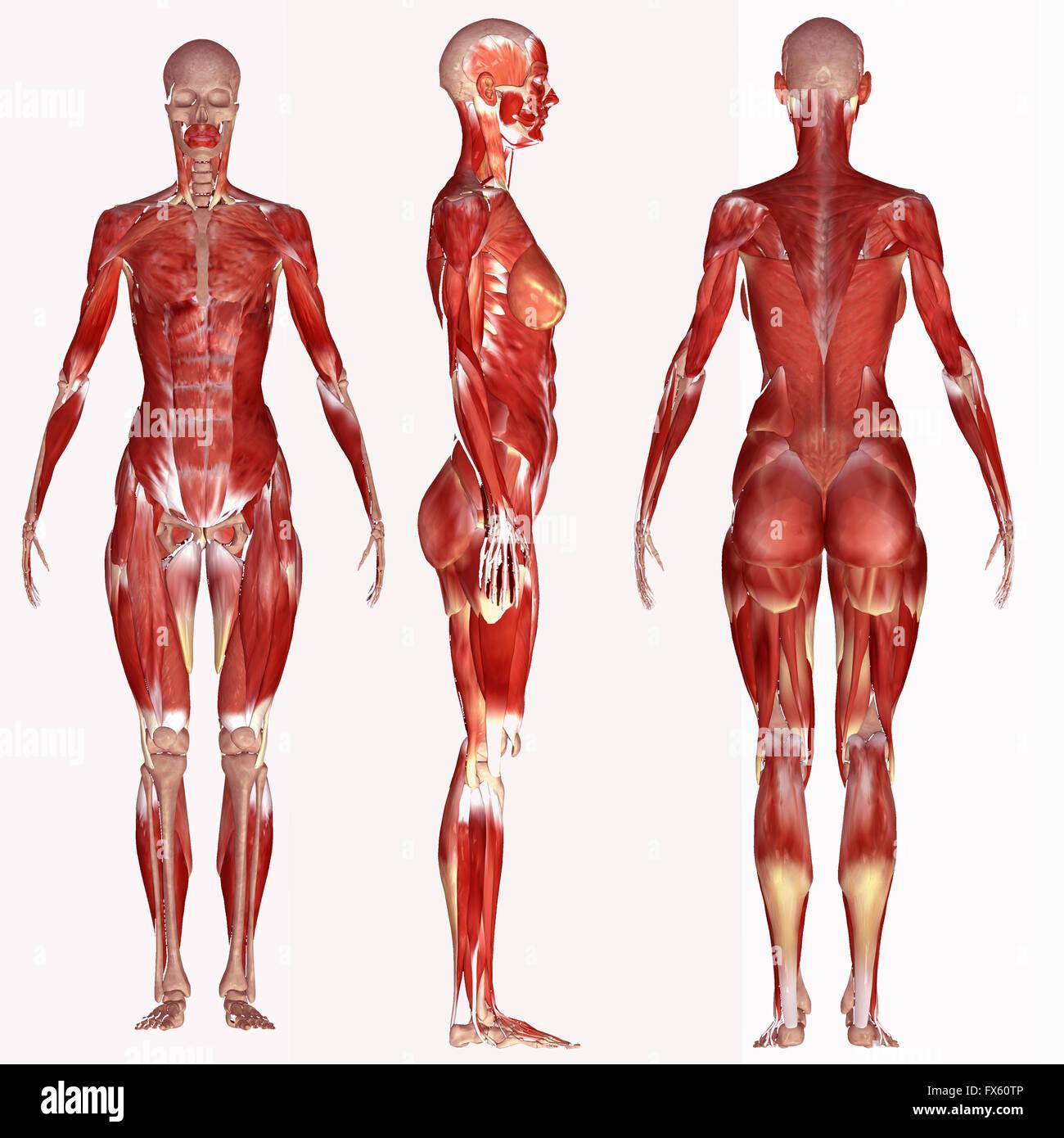 El cuerpo humano, la anatomía, el músculo, la medicina, el hombre, la medicina, la ilustración, hombres, Imagen De Stock