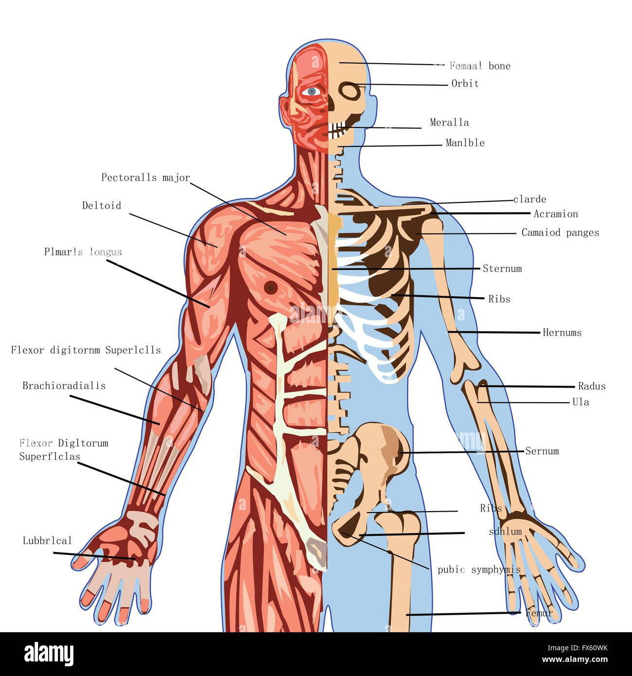 El cuerpo humano, la anatomía, la medicina, la salud, la ilustración ...