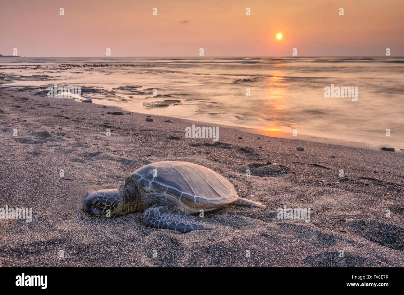 Ee.Uu., Hawai, Isla Grande, en Kona, Parque Nacional Histórico de Kaloko-Honokohau, tortugas de mar, sobre la playa, Foto de stock