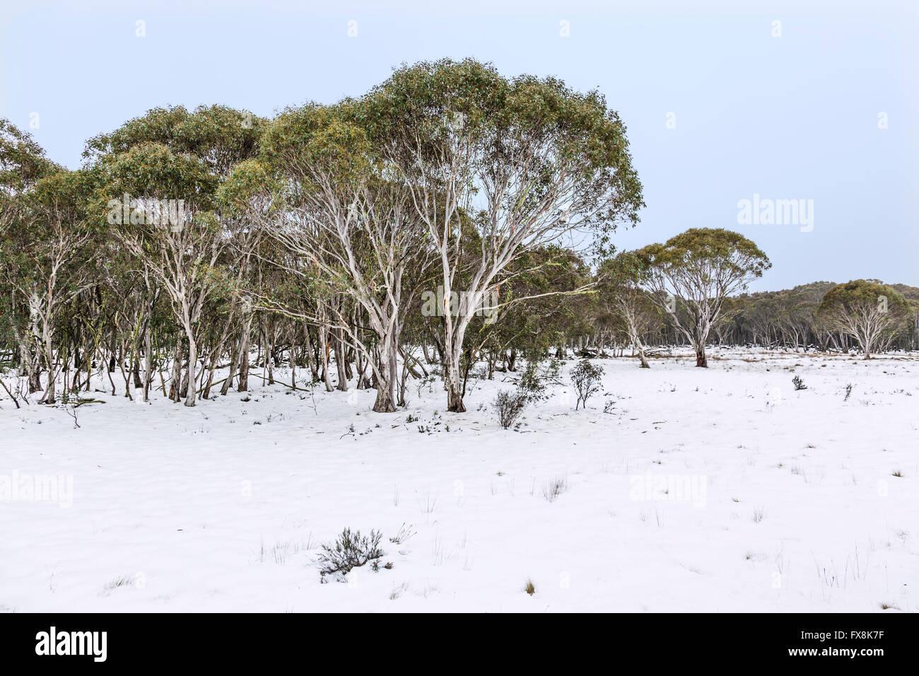 Australia, Nueva Gales del Sur, montañas nevadas, Parque Nacional Kosciusko, nieve en las encías, Eucalyptus Imagen De Stock