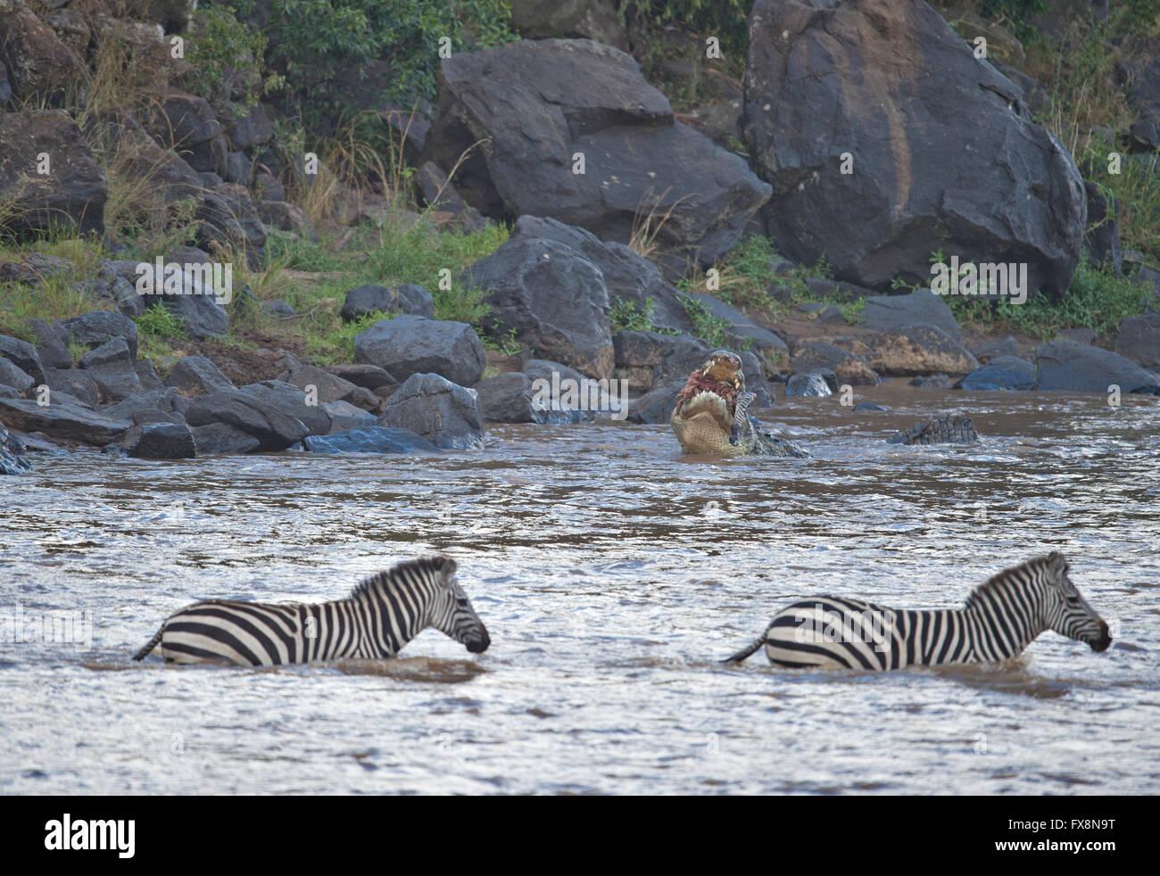 El cocodrilo atacando cebras en el agua Mientras cruzan el río Mara durante la gran migración anual en Masai Mara, Foto de stock