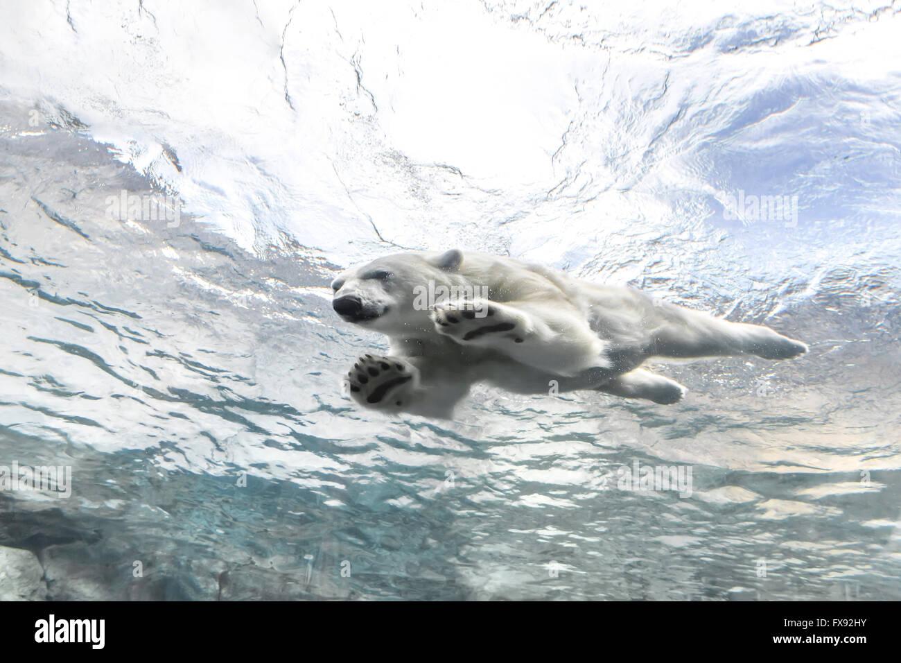 Oso Polar nadar en el viaje a Churchill, Assiniboine Park Zoo, Winnipeg, Manitoba, Canadá. Imagen De Stock