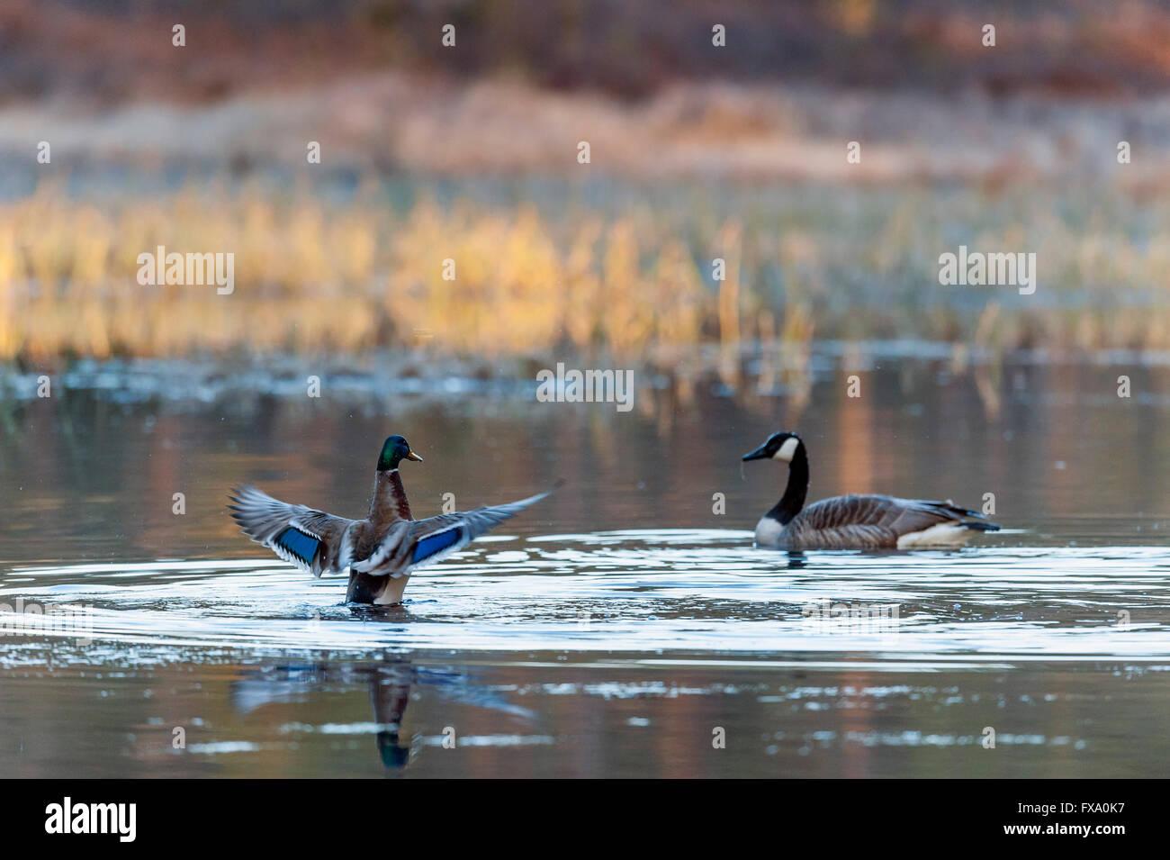 Pato y Ganso Canadá Imagen De Stock