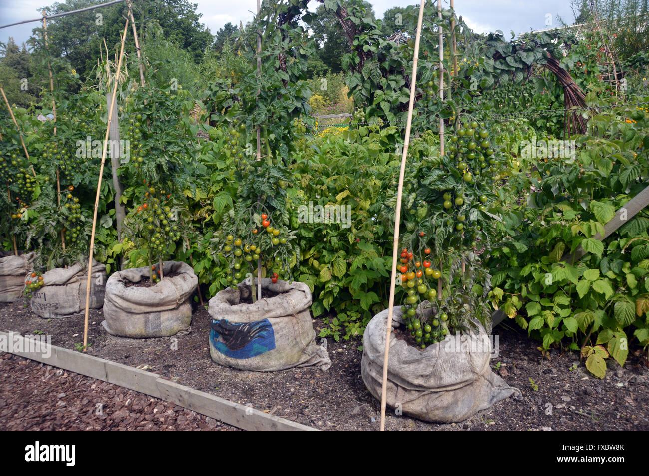 Tom Tato un mano-planta injertada produciendo tanto las patatas y los tomates en RHS Garden Harlow Carr, Harrogate, Imagen De Stock