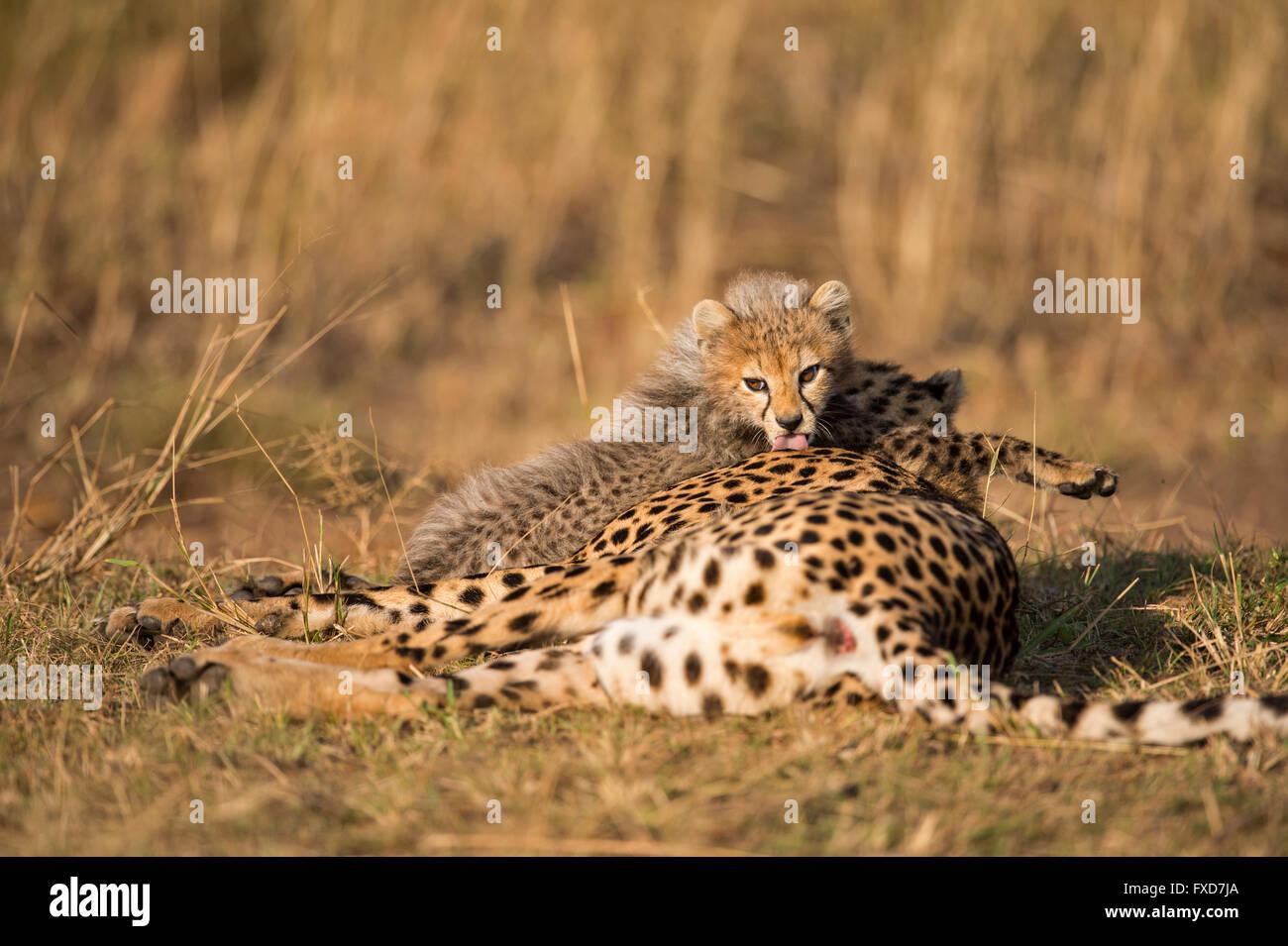 Madre y cachorros de guepardo (Acinonyx jubatus) descansando en una pradera en Masai Mara, Kenya Foto de stock