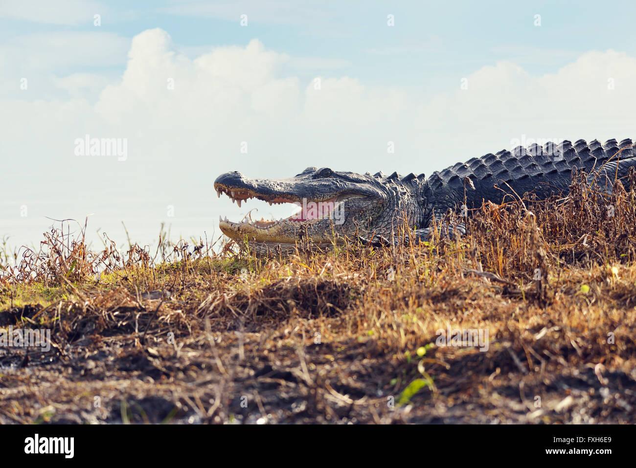 Gran Florida Alligator en humedales Imagen De Stock