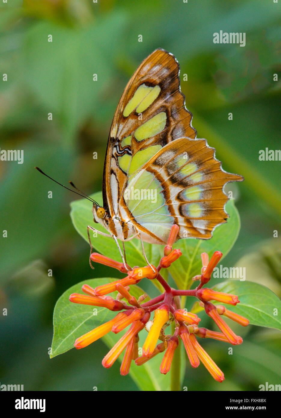 Malaquita Siproeta stelenes butterfly tomadas en fincas de mariposas en Fort Myers Flkorida Foto de stock