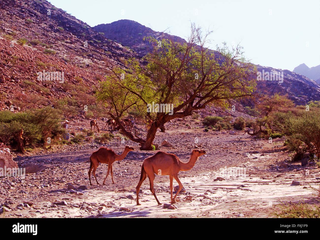 Dromedario camello forrajes para alimento en las colinas cercanas a Bishah, Reino de Arabia Saudita Imagen De Stock