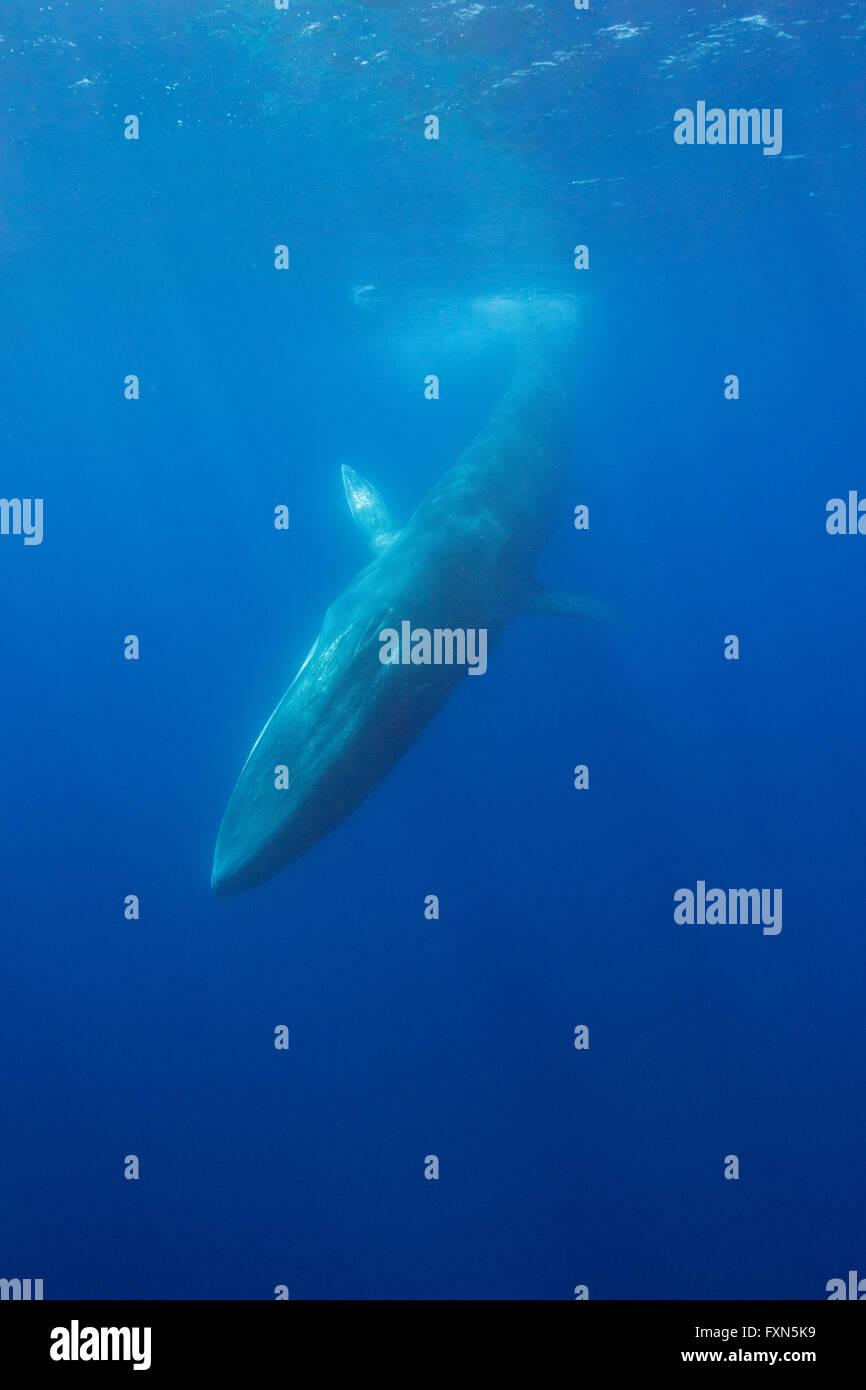 Rorcual común, finback whale, razorback, o common rorqual, Balaenoptera physalus, buceo, el Santuario Pelagos para Mediterráneo Marin Foto de stock