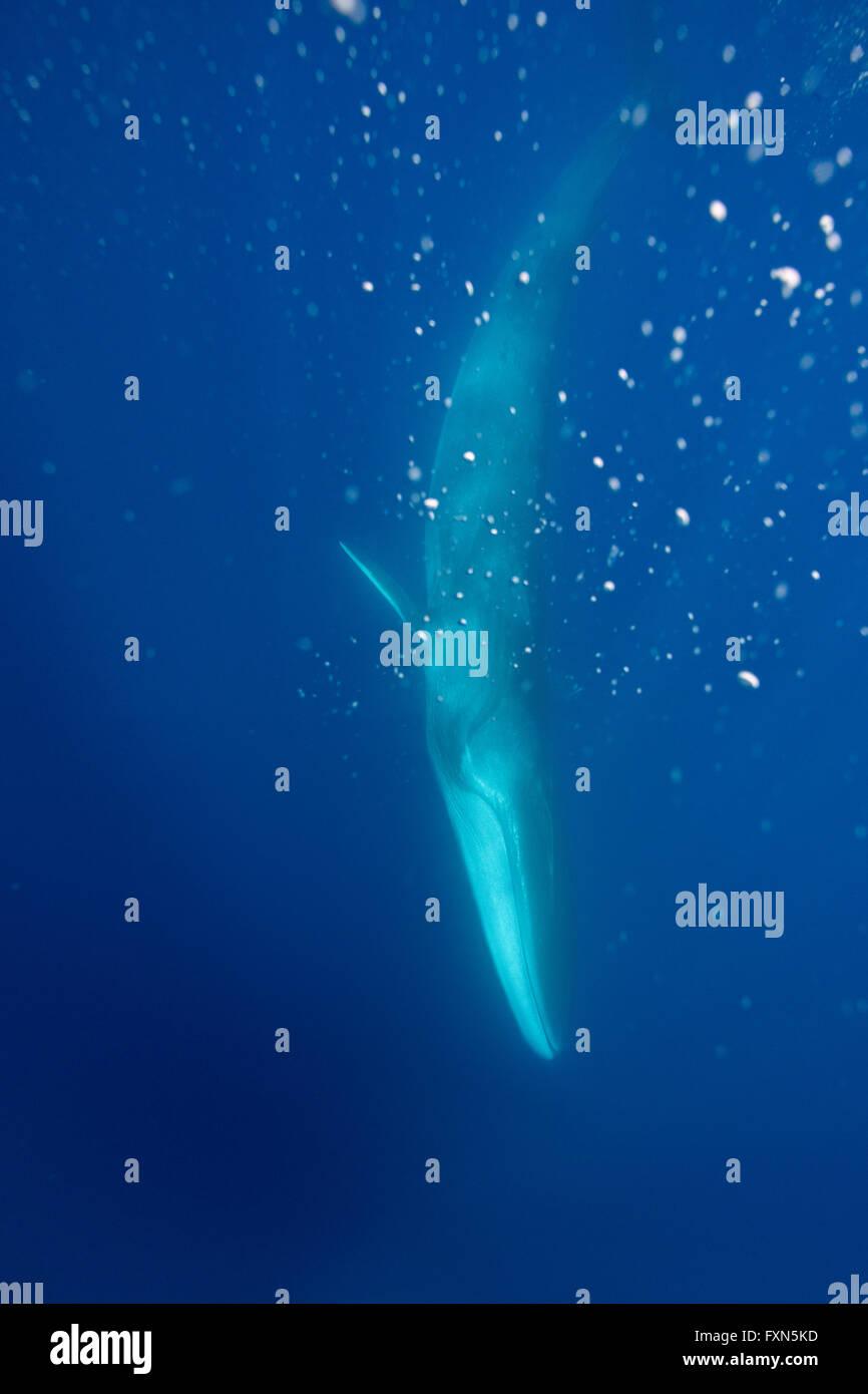 Rorcual común, finback whale, razorback, o common rorqual, Balaenoptera physalus, buceo, mostrando una pigmentación blanca en la mandíbula derecha Foto de stock