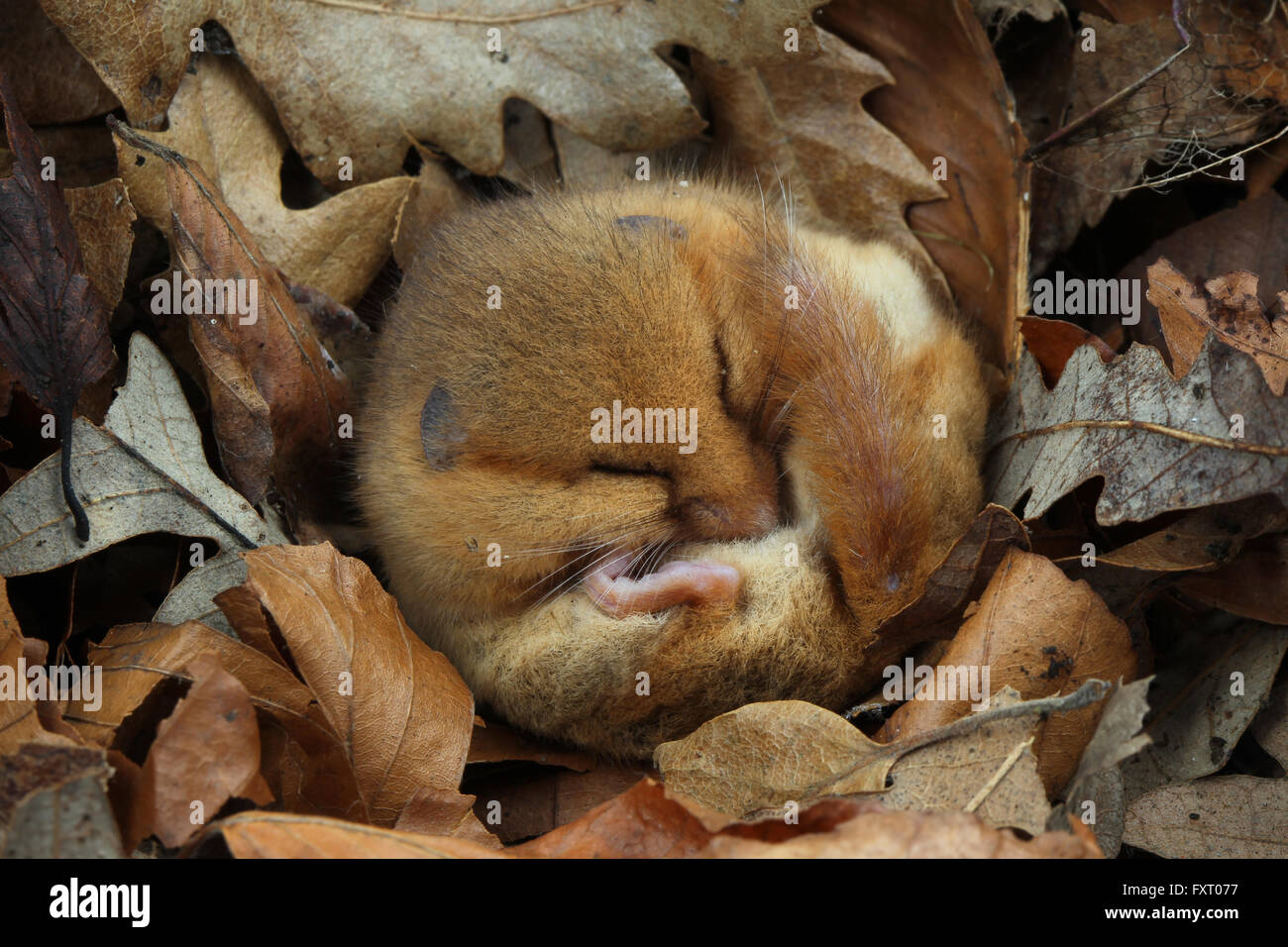 Muscardinus avellanarius Hazel lirón careto, Foto de stock