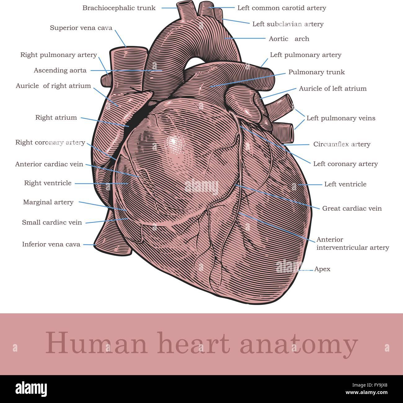 Anatomía del corazón humano Ilustración del Vector, Imagen ...