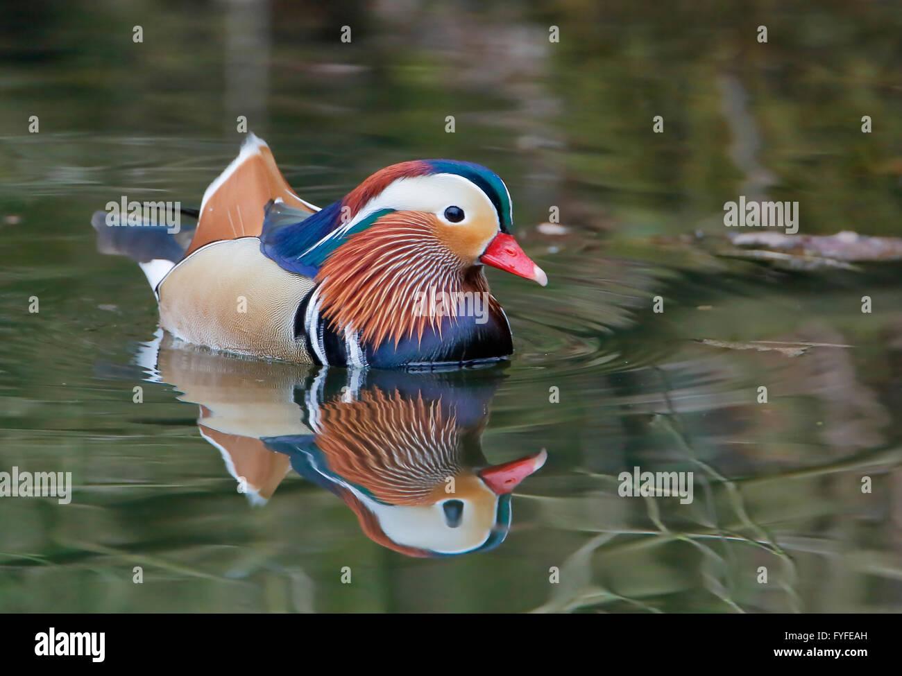 Pato mandarín (Aix galericulata) macho nadando en agua con reflejos Foto de stock