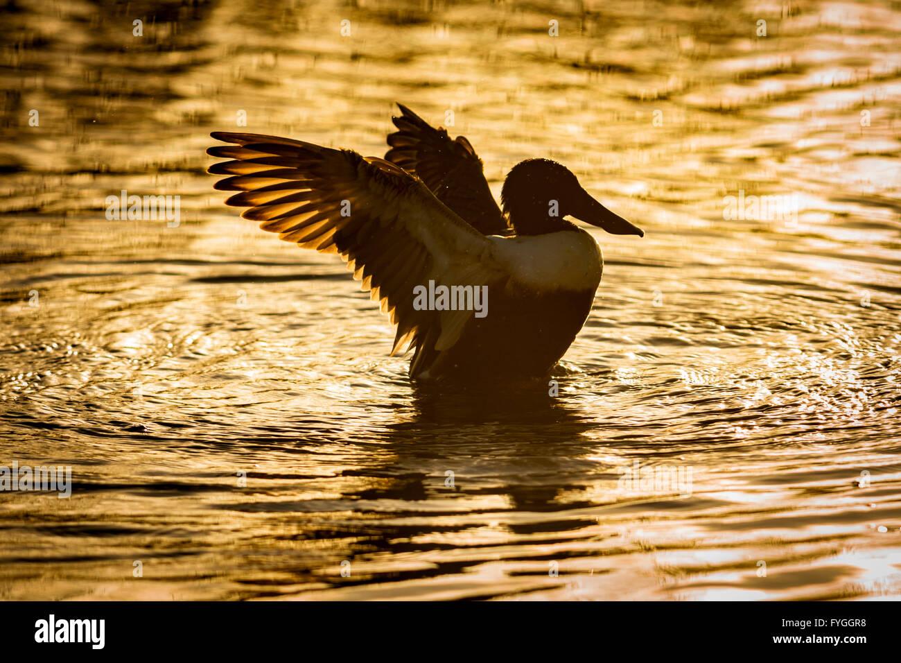 Un pato Cuchareta, estirar sus alas, en la luz dorada del sol Imagen De Stock