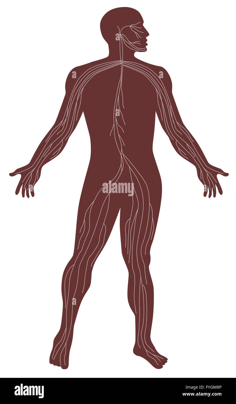 Sistema nervioso Anatomía Humana masculina Foto & Imagen De Stock ...