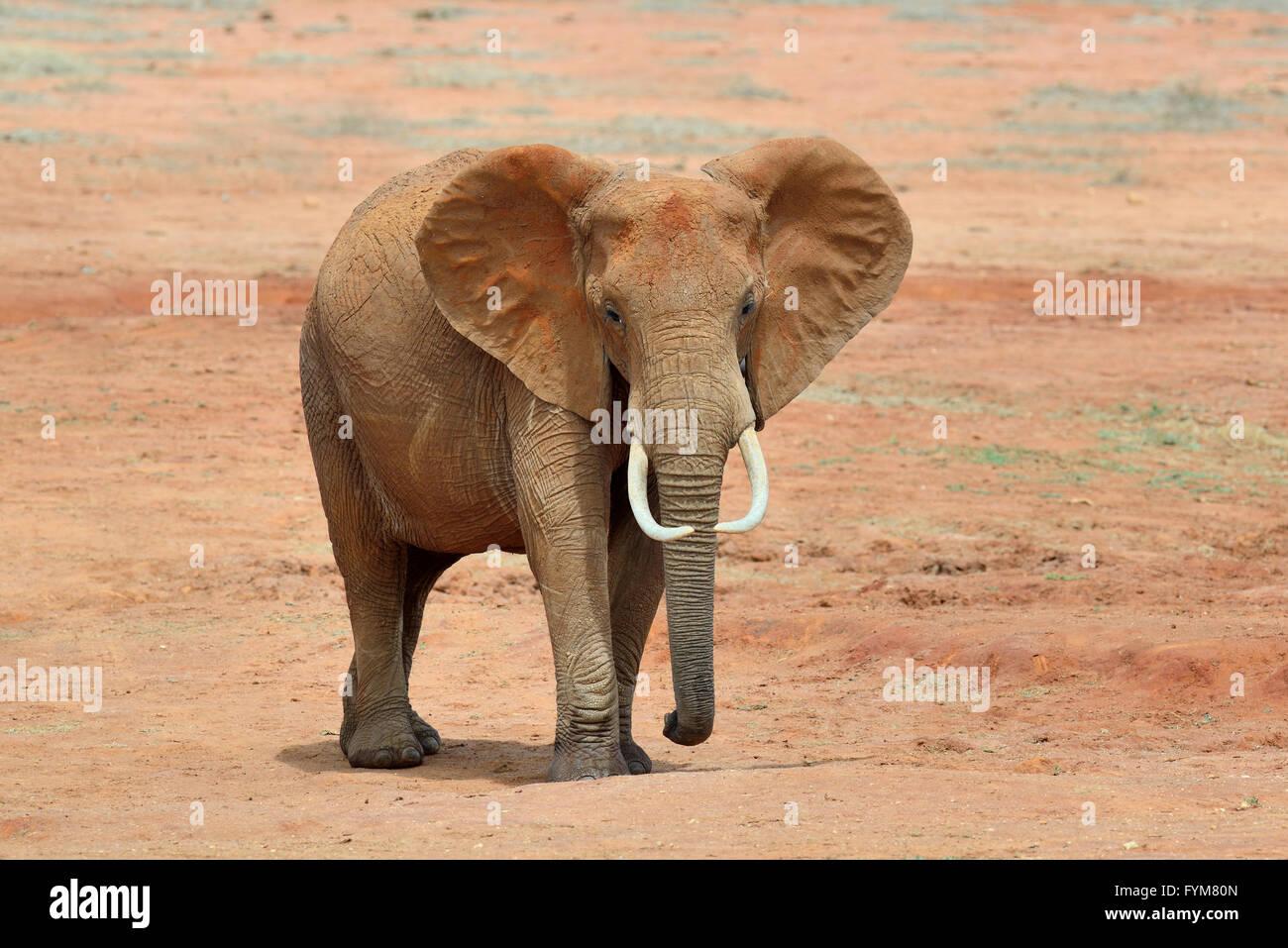 En el parque nacional de elefantes de Kenya, Africa. Imagen De Stock