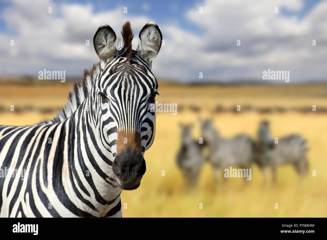 Zebra en pastizales en África, parque nacional de Kenya Imagen De Stock