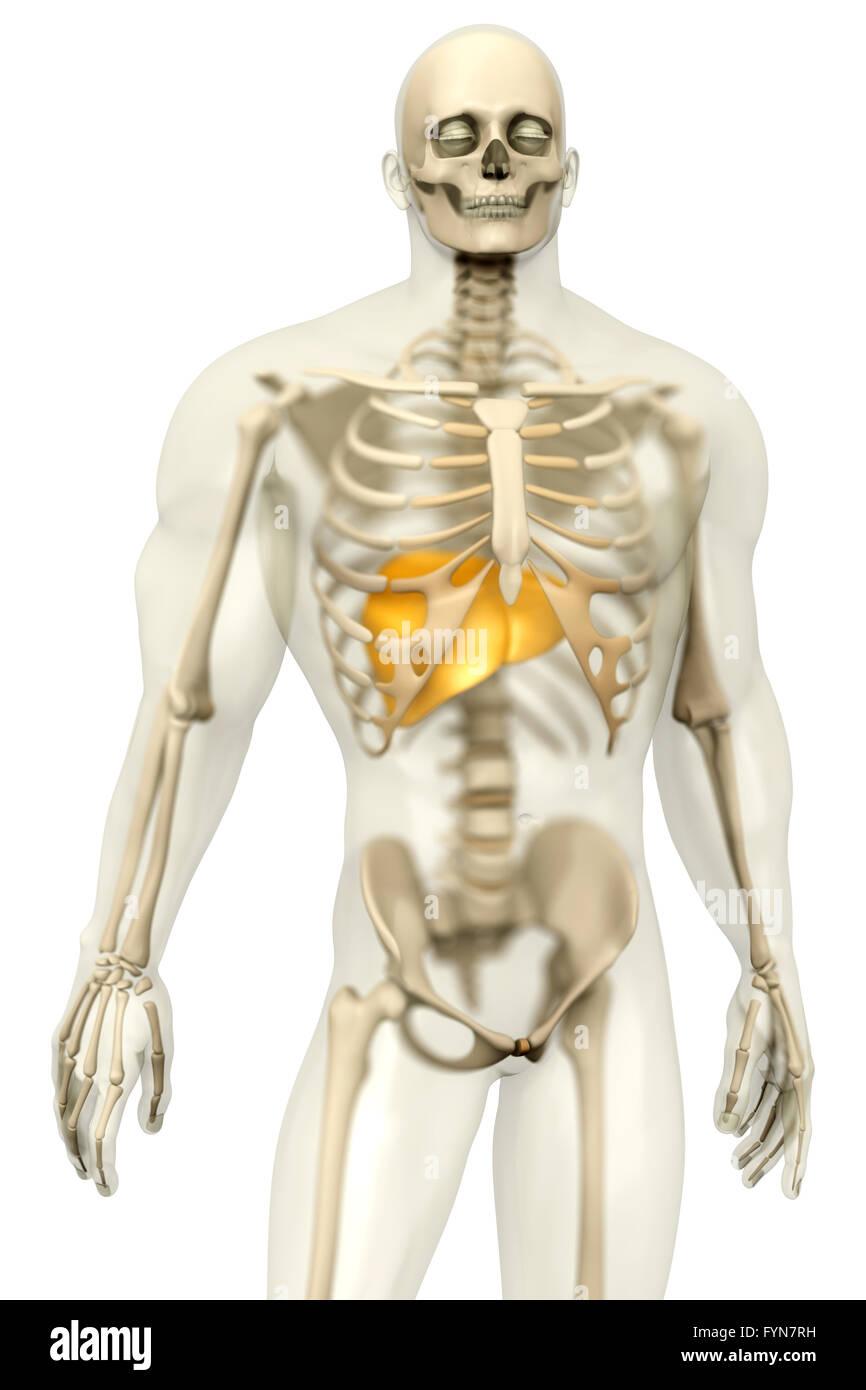 Anatomía Humana - Visualización del hígado en un semi cuerpo ...